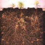 Mycorhization-agriculture-nouvelle